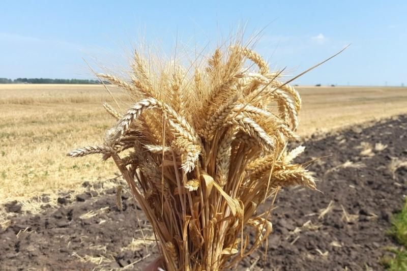 Семена озимой пшеницы Безостая 100, Гром, Жива, Таня, Степь, Юка, Юбилейная 100